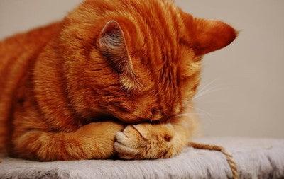 Separation Anxiety in Cats: Signs and Symptoms