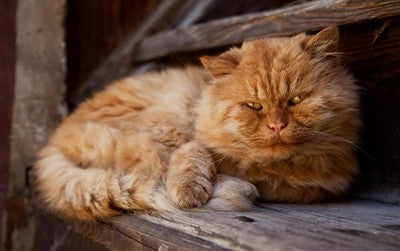Aging Cat? How to Help Ease Their Pain and Irritability