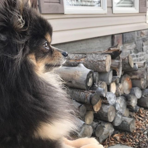 Bobbi the pup uses innov8tion cbd oil to calm anxiety and soothe heart failure pain