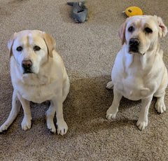 Katie & Abby yellow labs after CBD