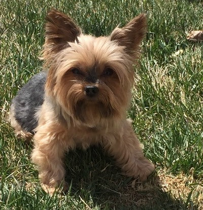 Gigi Yorkie outside