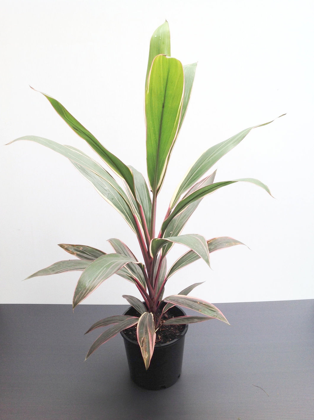 Cordyline - Pink Diamond