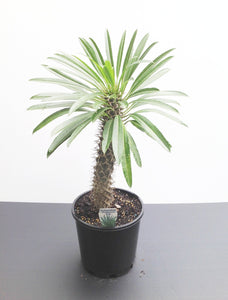 Madagascar Palm - Pachypodium