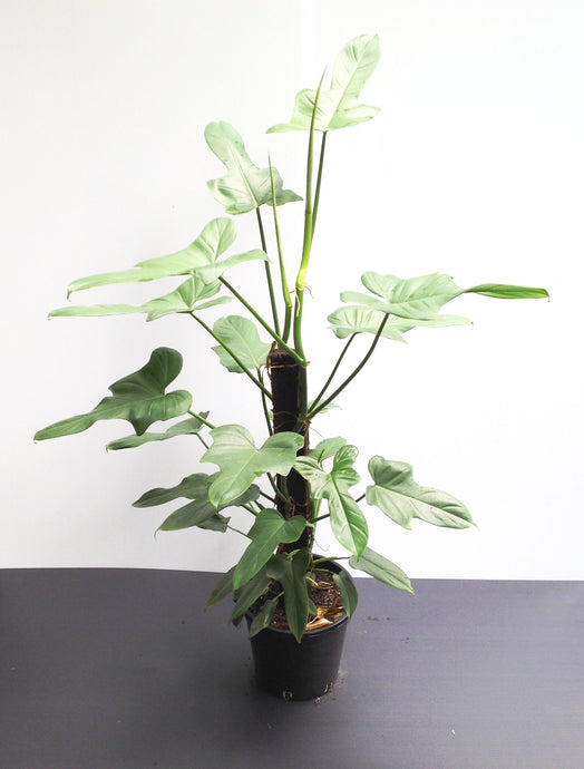Fiddle Leaf Philodendron Totem