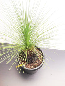 Grass Trees - Xanthorrhoea