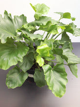 Hope Philodendron