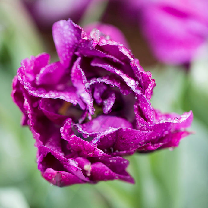 The History of the Tulip Flower