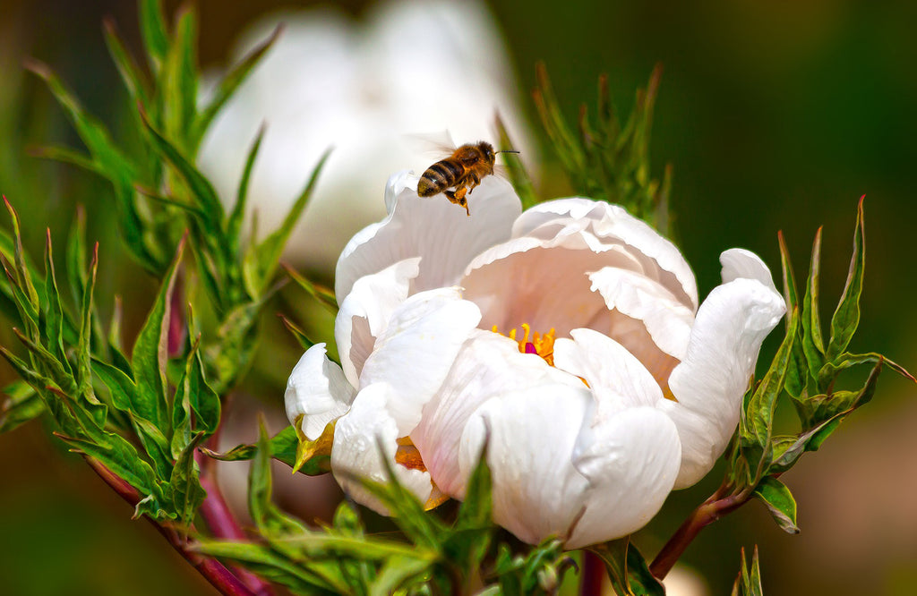 Bee landing on white peony rose in garden