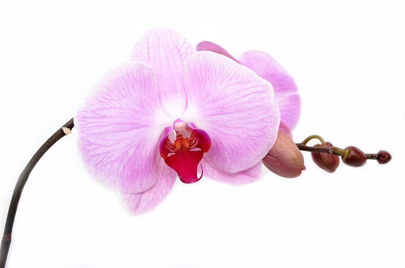 Pink Orchid flowers used for sympathy flowers