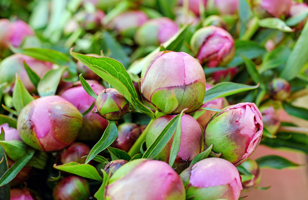Peonies in the bud ready to be picked