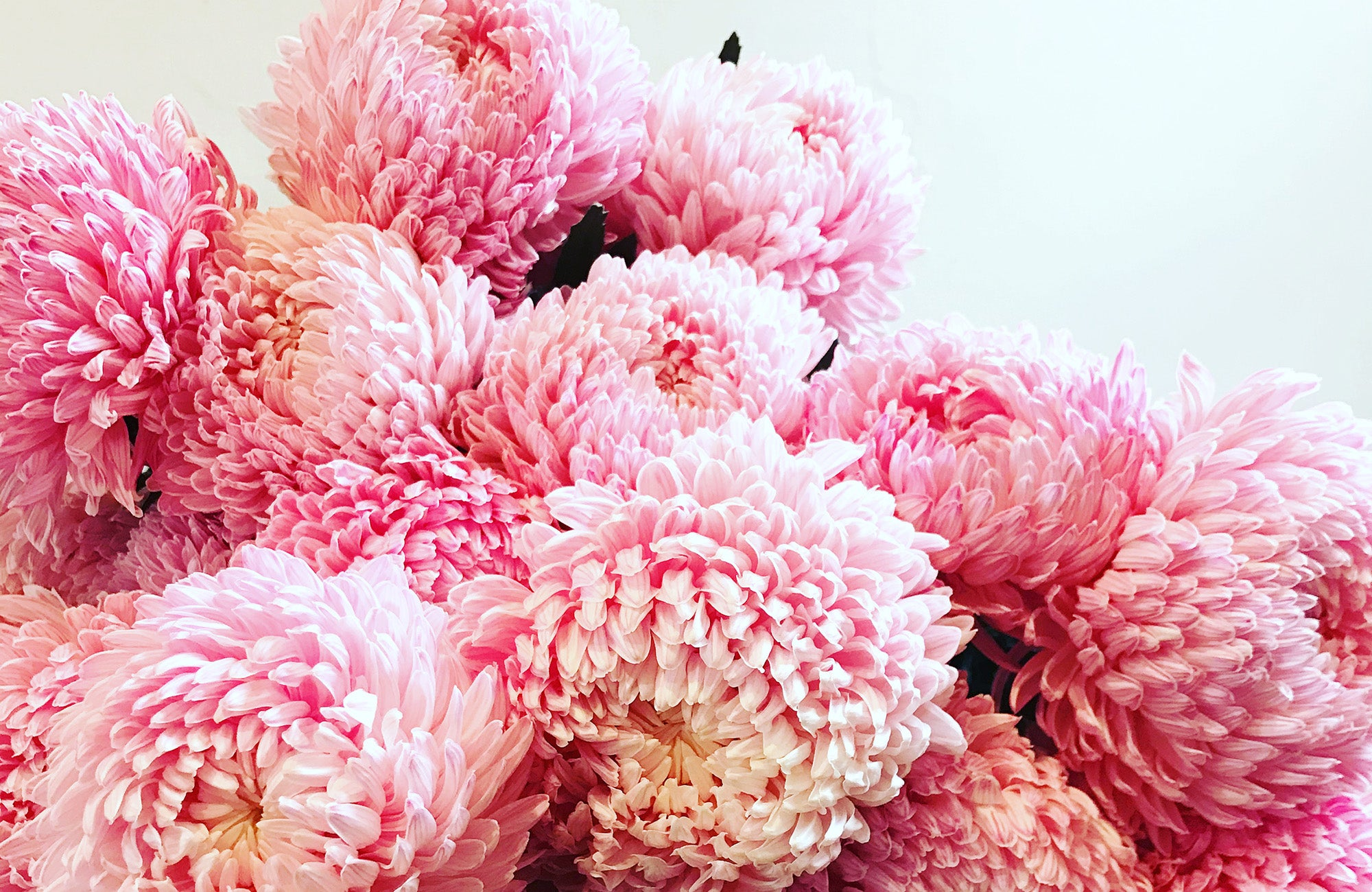 Pink Disbud Flowers in a Melbourne Florist