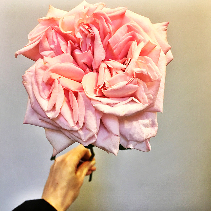Rose being held by hand of florist in Melbourne