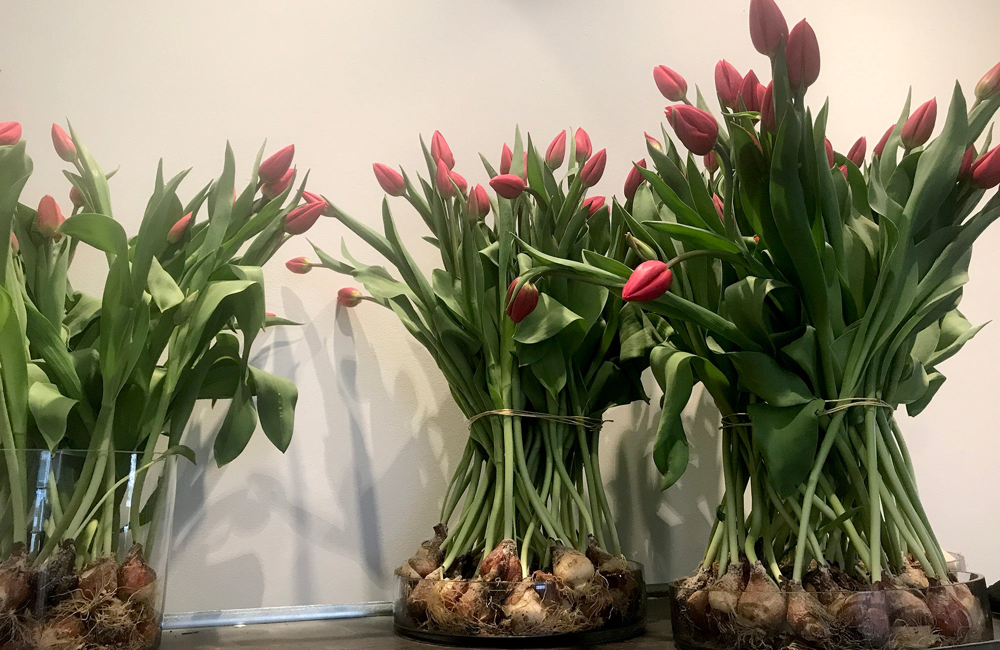 Tulips in vases without soil