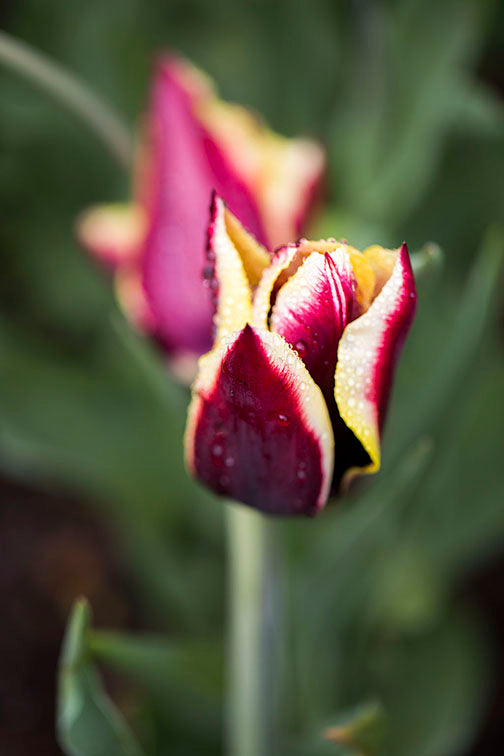 Purple Tulip Flower
