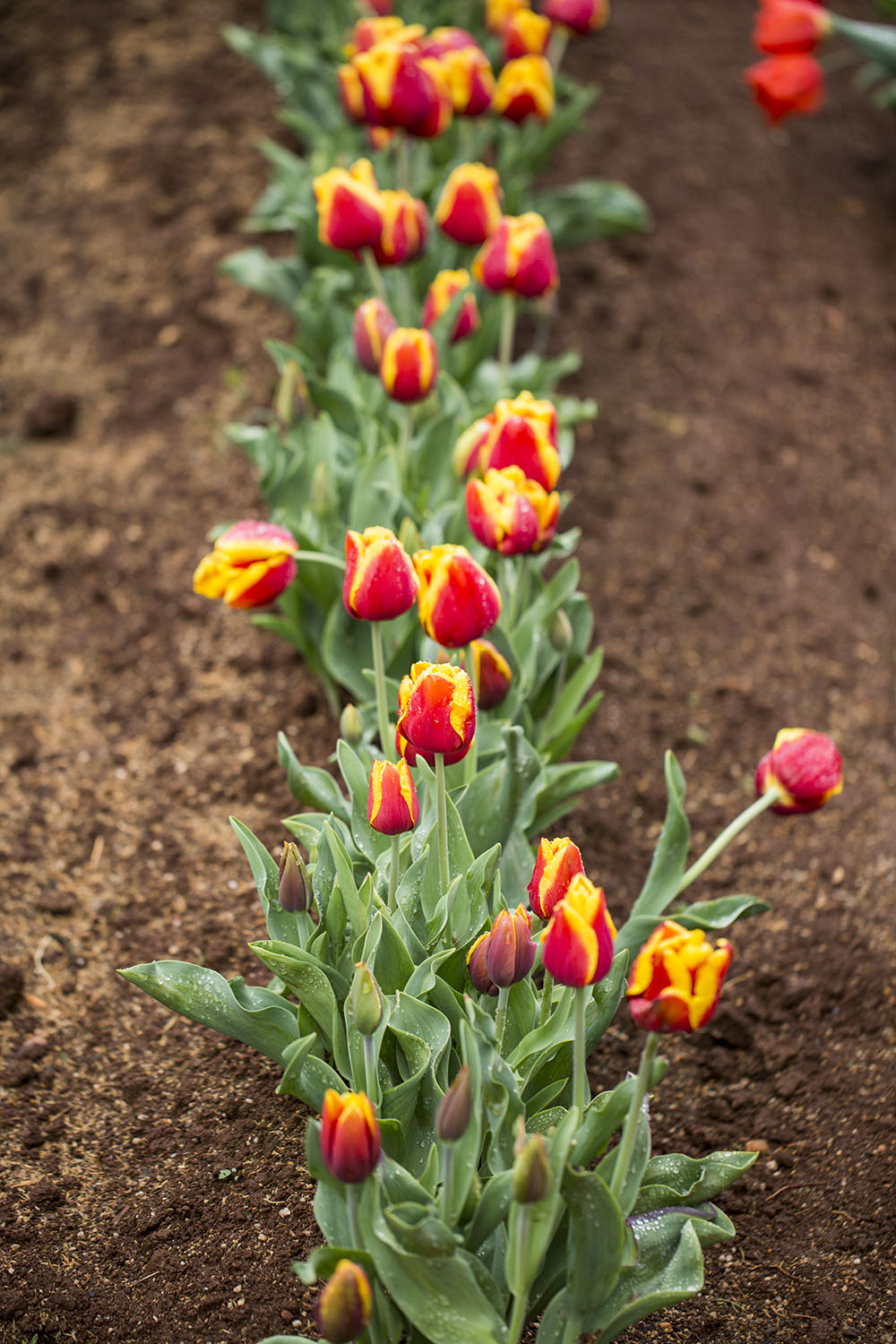 Tulips Growing In The Field