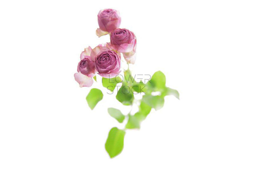 Flower Stock | Cottage Rose Greeting Card