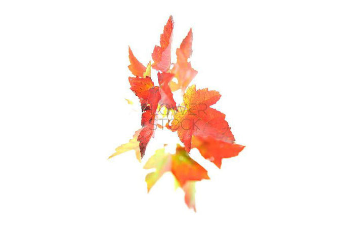 Flower Stock | Maple Leaf Greeting Card