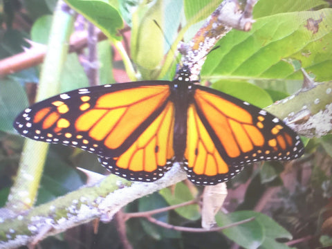 Monarch Butterfly Ready to live life BM
