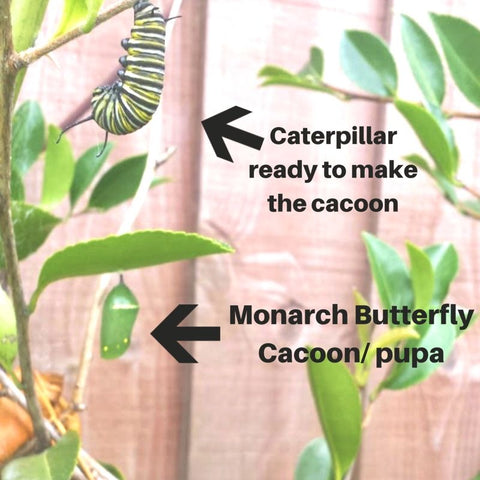 Cycle of Monarch Butterfly BM