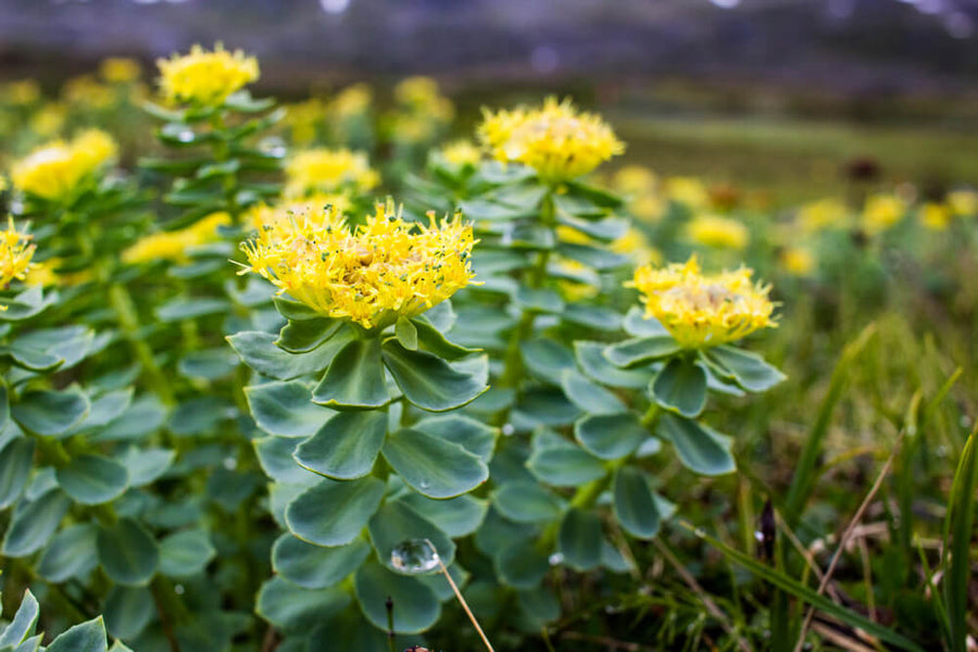What are the Rhodiola Rosea Health Benefits?