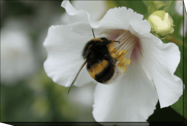 "Bumble Bee (Canvas Frame 12""(W) x 8""(H)) Landscape or Digital Download"