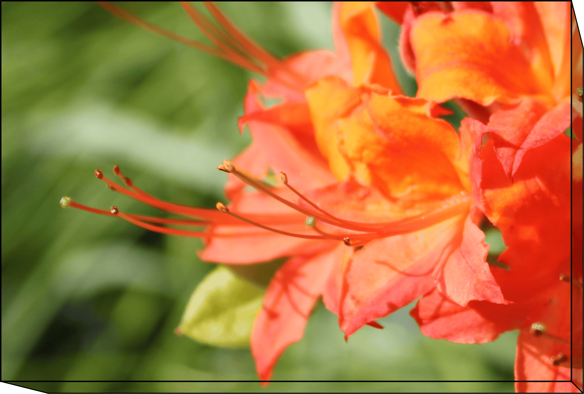 "Orange Azalea on Canvas Frame 12""(W) x 8""(H) or Digital Download"