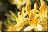 "Yellow Azalea on Canvas Frame 12""(W) x 8""(H) or Digital Download"