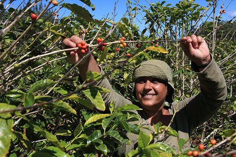 Coffee cherries being picked in St Helena - Sea Island Coffee