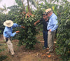 Cinchona Estate Peaberry, Jamaica Blue Mountain - Green Bean-Sea Island Coffee