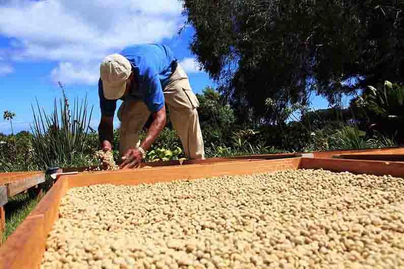 Swiss Water Decaf, Guatemala - Green Bean