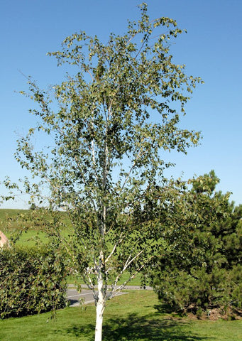 Pet-Bios-Urn Silver Birch Seed