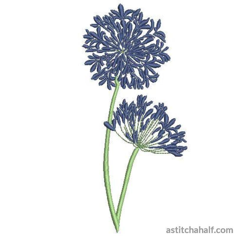 Agapanthus Flowers Allure - astitchahalf