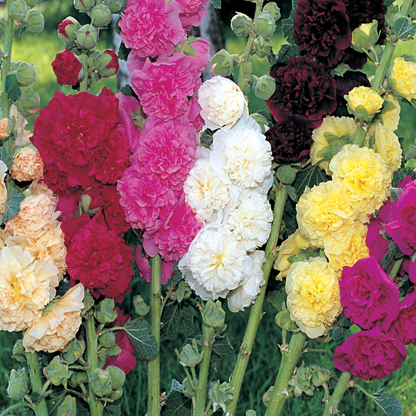 100Pcs Sale Hollyhock Carnival Mixed Flower Seeds For Home Garden Plan F4O9