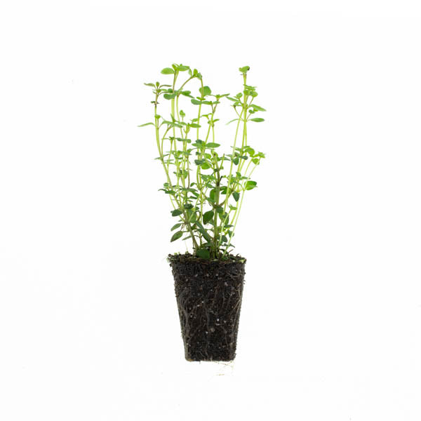 Thyme English Plantlings (3 plants)