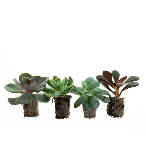Echeveria Mix Succulent Plantlings (6 plants)