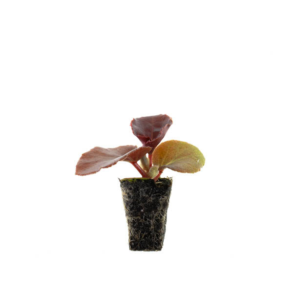 Begonia Landscape Big Red Bronze Leaf Plantlings (6 plants)