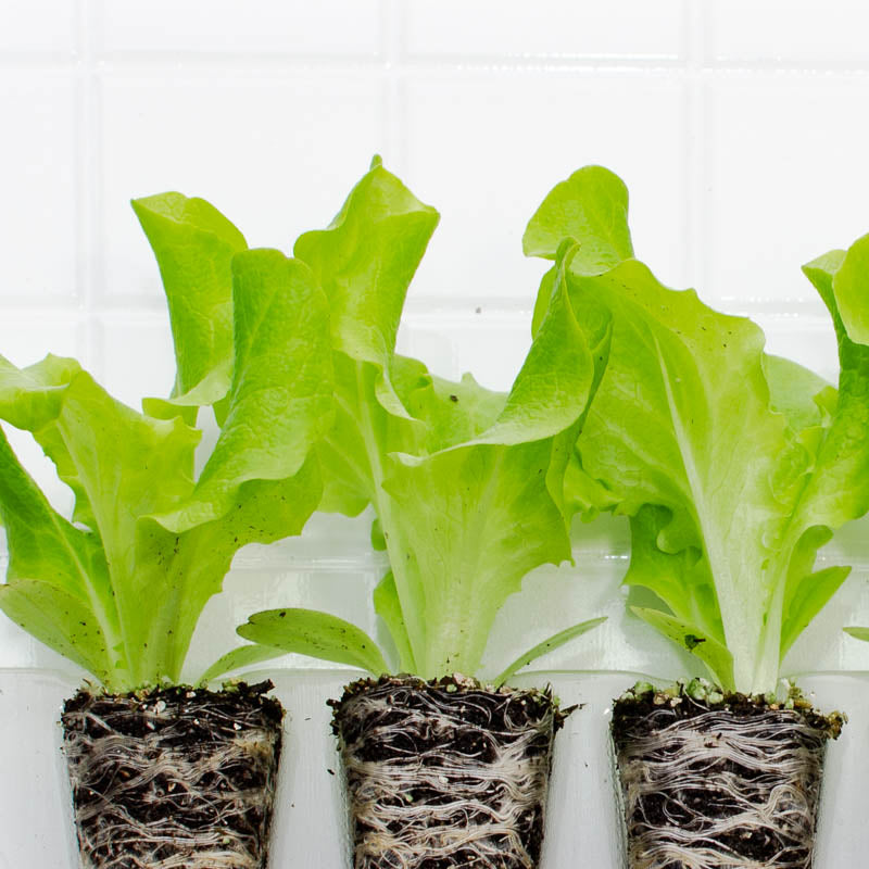 Lettuce Black Seeded Simpson Plantlings (3 plants)
