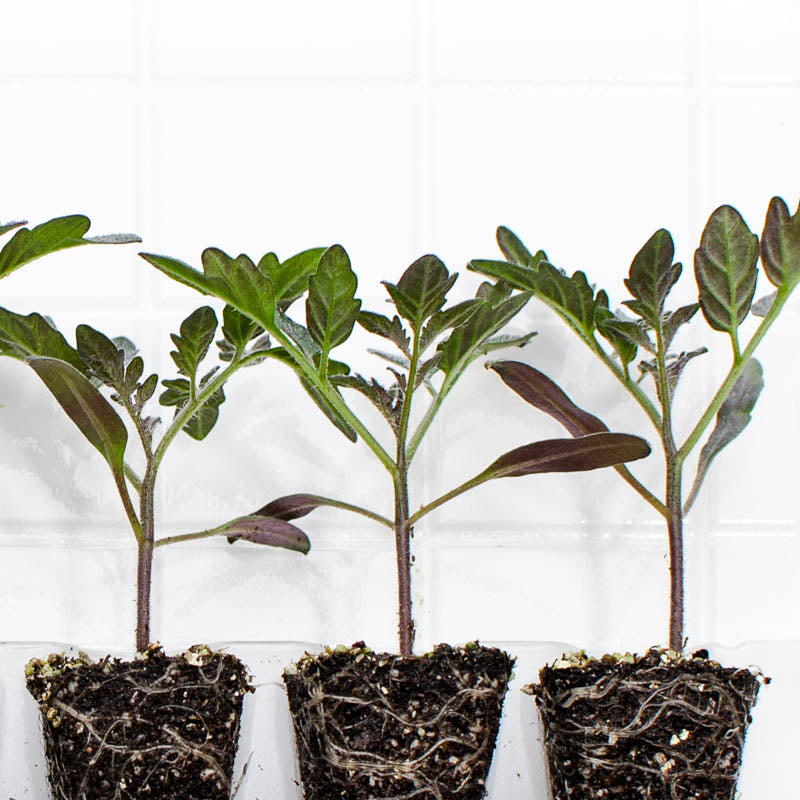 Tomato Amish Paste Plantlings (3 plants)