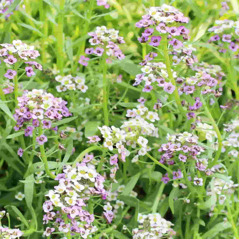 Alyssum Pastel Carpet