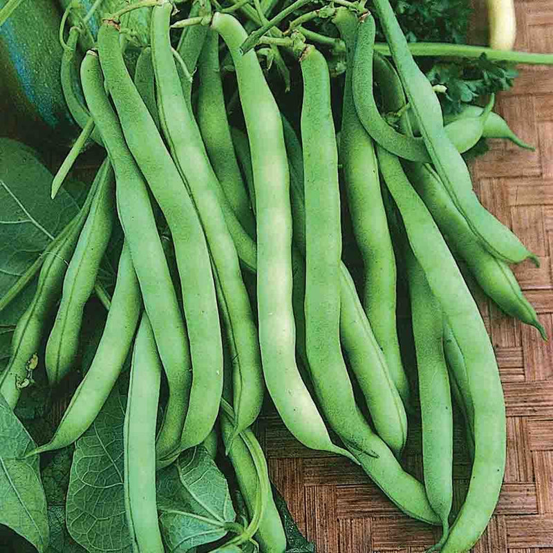 Bean Landreth's Stringless Green Pod