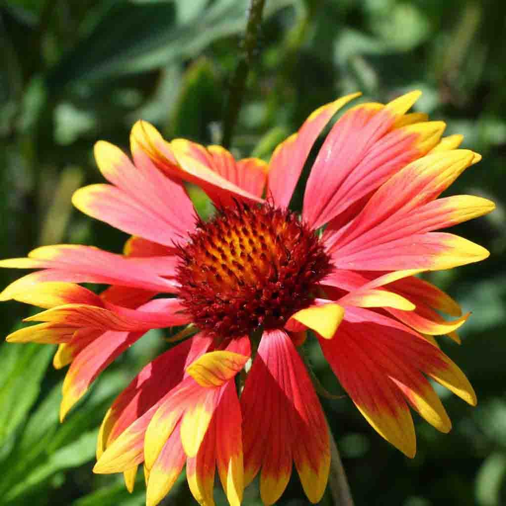Blanketflower Gaillardia Aristata