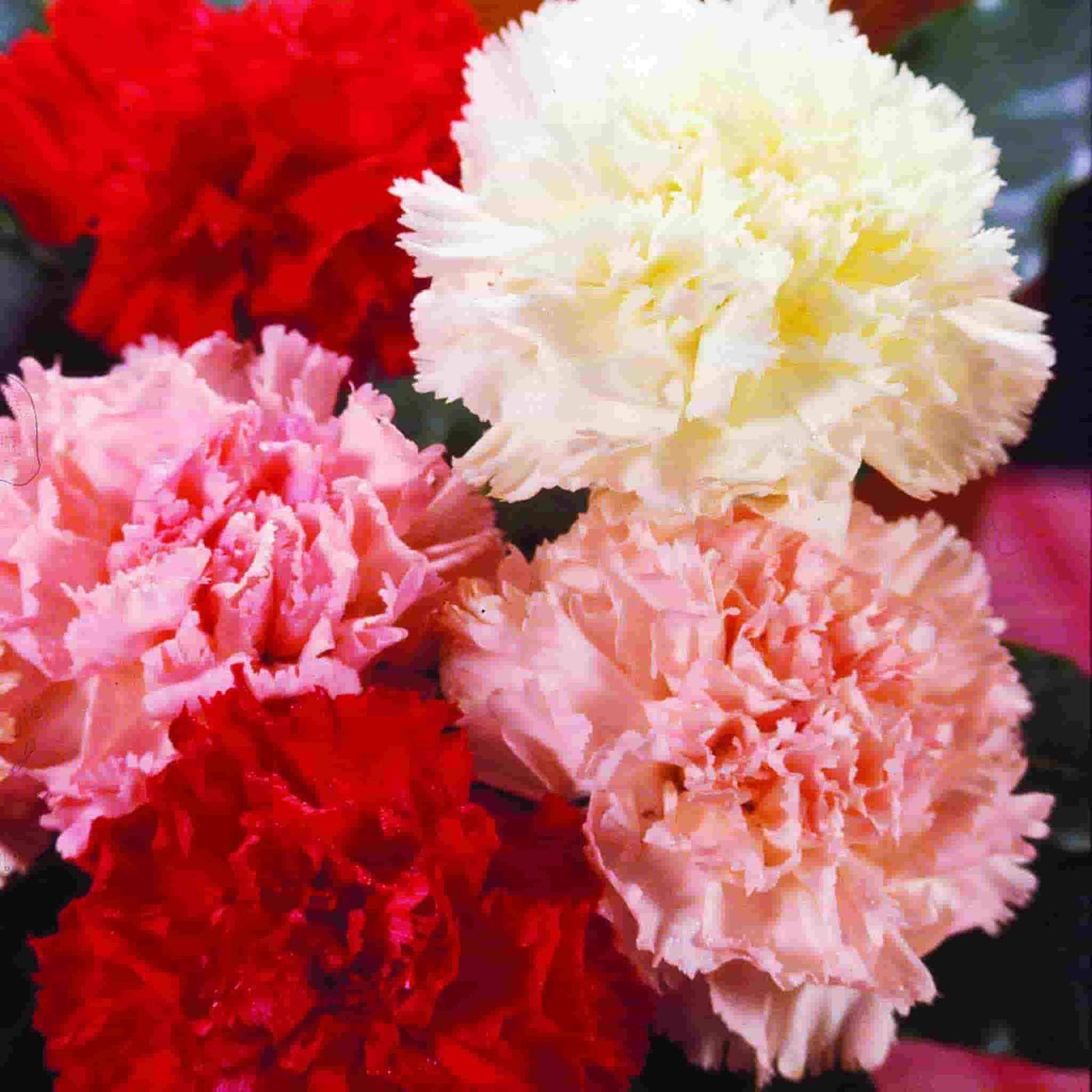 Carnation Chabaud Giant Mixed Colors Ferry Morse Home Gardening