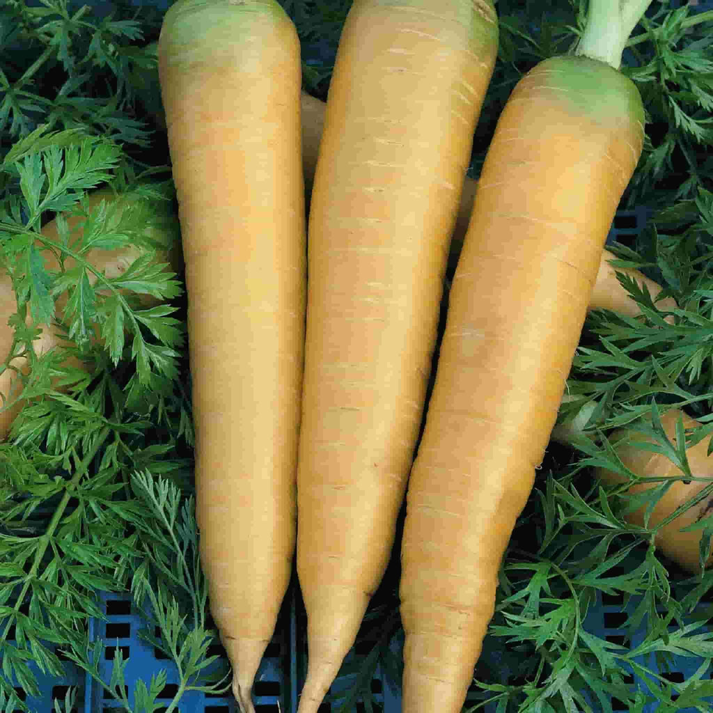 Carrot Solar Yellow