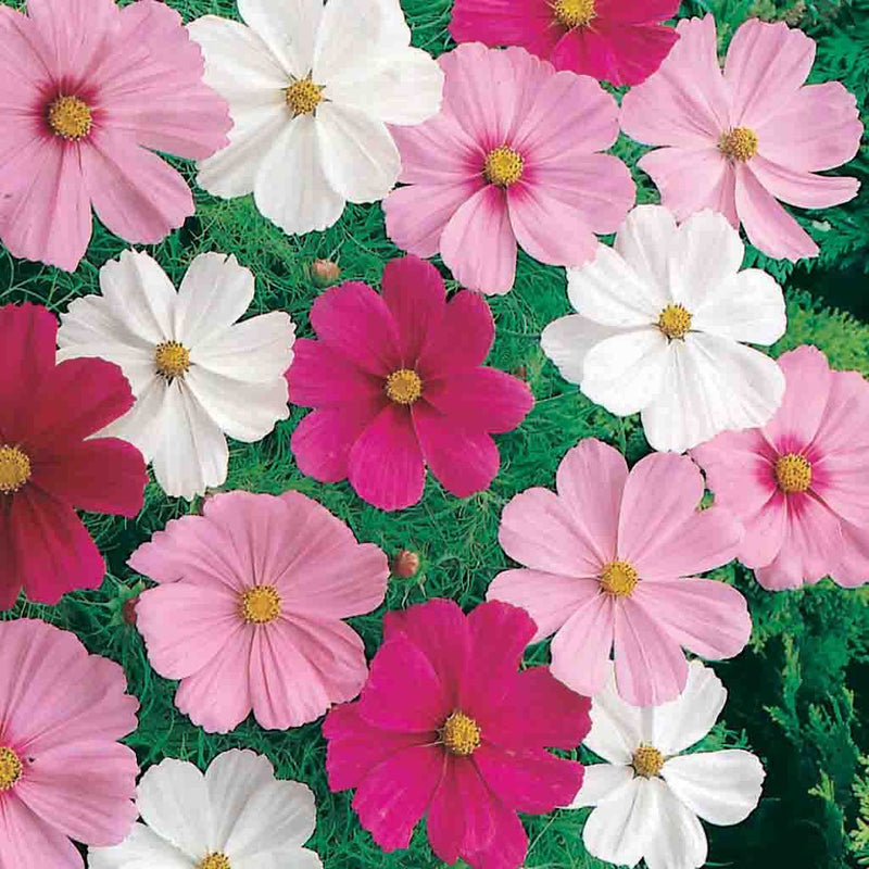 Cosmos Dwarf Cutesy Mixed Colors