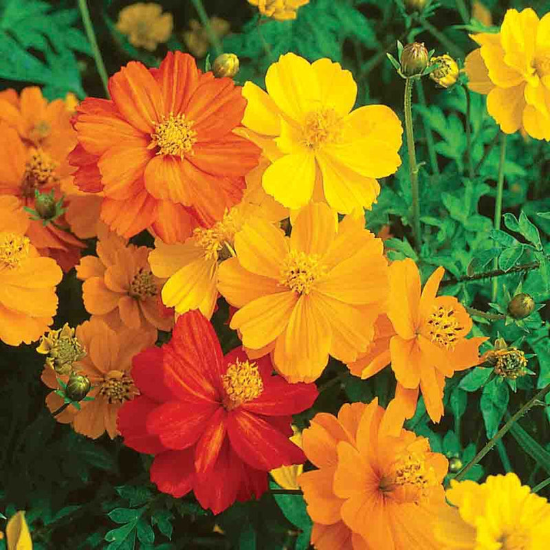 Cosmos Sunny Mixed Colors