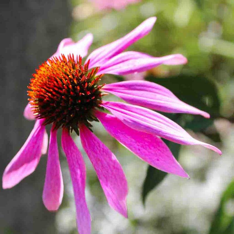 Purple Coneflower Seed
