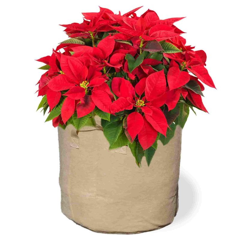 Flexi Pot Poinsettias