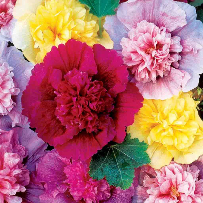 Hollyhock Chaters Double Seed