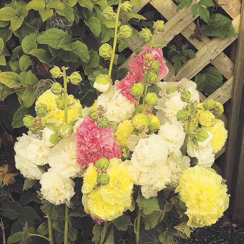 Hollyhock Chater's Double Mix