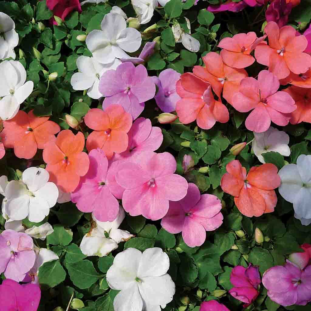 Impatiens Dwarf Mixed Colors Flower Ferry Morse Home Gardening